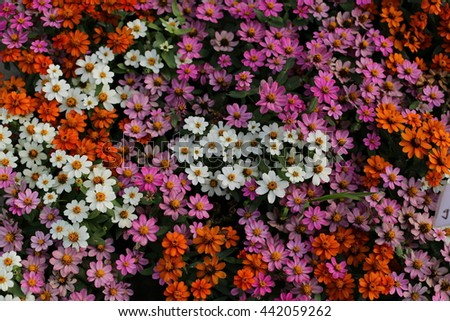 Beauty Full Zinnia Flowers In The Garden