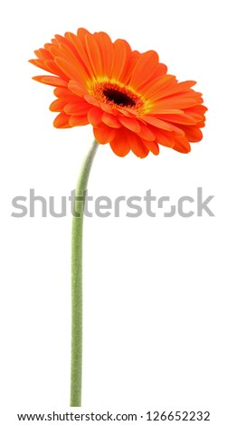 Beauty gerbera on a white background