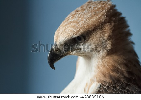 beauty hawk on falconer's hand - stock photo