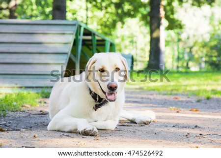 Beauty labrador retrietver resting in the park in summer