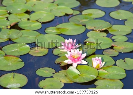 Beauty lotus flowers is blooming in the pond - stock photo