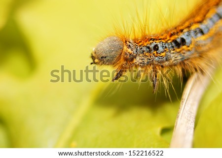 Beauty of insects. Lappet moth (phyllodesma ilicifolia) caterpillar portrait.