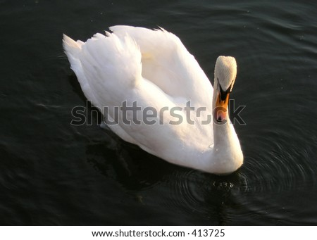 Beauty of swimming swan at sunset in Hamilton Bay Lake Ontario. Very noticeable is the dirty white color of the swan head and neck. It is result of the human activities in polluted the water.