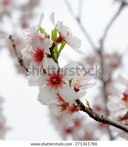Beauty Pink and White Cheery Blossoms closeup on Blurred Cherry Tree and Cloudy Sky background - stock photo