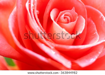 Beauty Rose flower