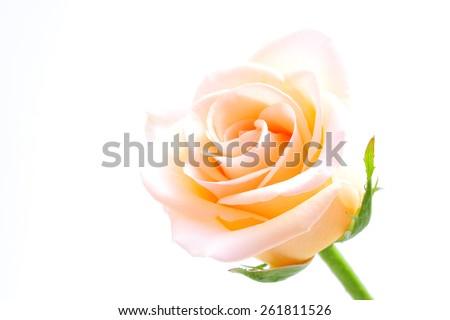 beauty rose on white background - stock photo