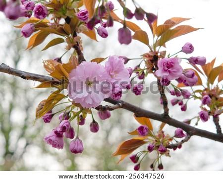 beauty sakura twig close up - stock photo