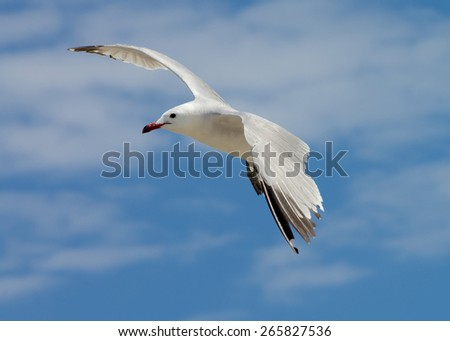 Beauty Seagull in Flight isolated on Blue Cloudy Sky background Outdoors - stock photo