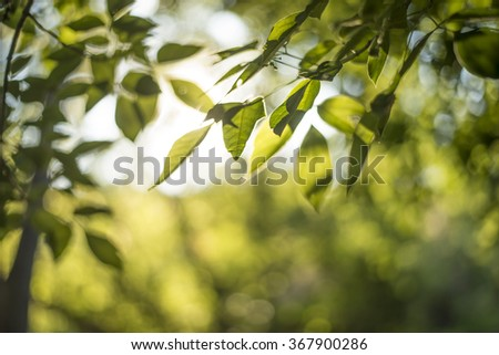 Beauty spring and summer backgrounds with fresh green foliage against sunset light - stock photo