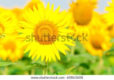 beauty sunflower - stock photo