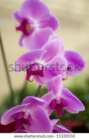 Beauty violet orchid
