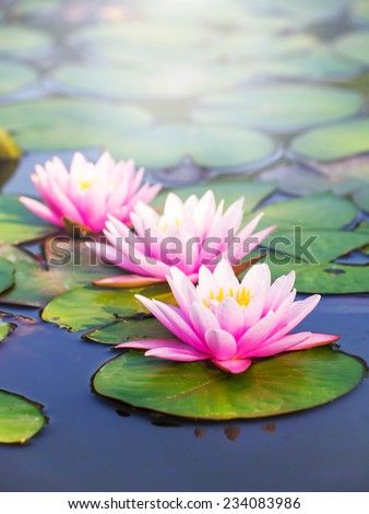 Beauty water lilly flower - stock photo