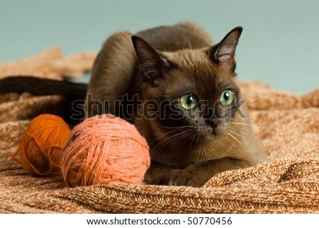 Beautyburm kitten with woolen clew - stock photo