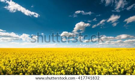 Beautyful empty canola field with blue cloudy sky - stock photo