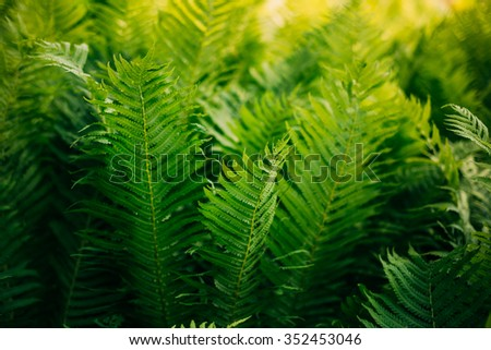 Beautyful ferns leaves green foliage natural floral background. Fern background