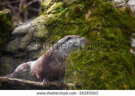 Beaver - stock photo