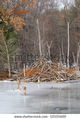 Beaver house in winter