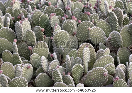 Beavertail Prickly-Pear Cactus with Fruit - stock photo