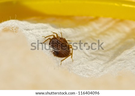 Bed Bug - stock photo