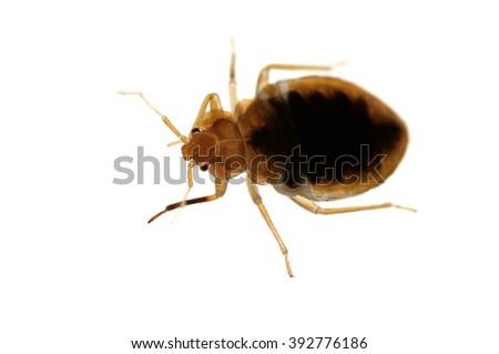 Bed bug Cimex lectularius isolated on white. - stock photo