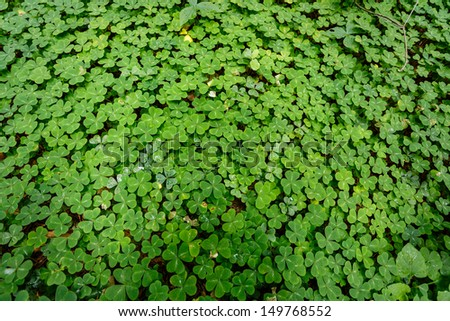 bed of bright green red sorrel leaves cover forest floor. Closeup of leaves that look like 3 leaf clover in Yosemite National Park - stock photo