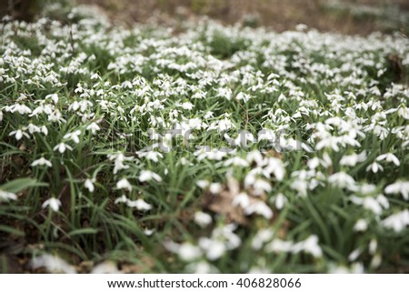 Bed of common snowdrops (Galanthus nivalis) growing wild in Norfolk, England, on a cloudy day - stock photo