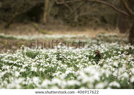 Bed of common snowdrops (Galanthus nivalis) growing wild in Norfolk, England, on a cloudy day, artistic soft focus - stock photo