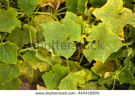 bed of cucumbers. background