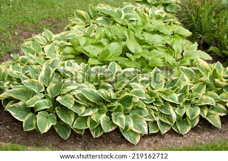 bed of different hostas in the garden - stock photo
