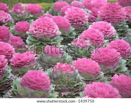 Bed of pink flowers - stock photo