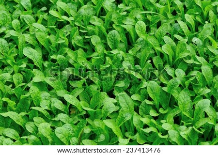 Bed of radish sprouts  - stock photo
