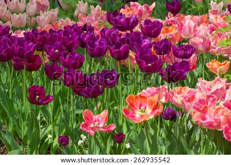 Bed of Red and Pink Tulips in seasonal bloom. - stock photo