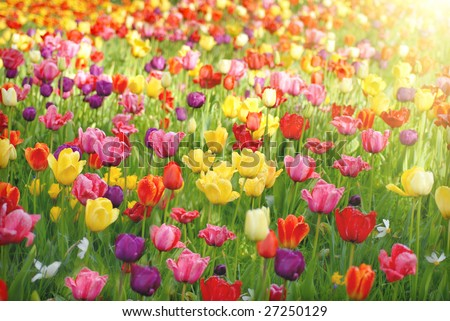 Bed of tulips - stock photo