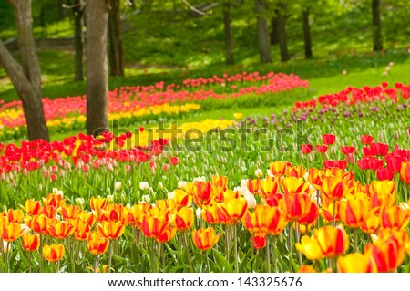 Bed of tulips in a garden of Istanbul - stock photo