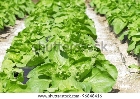 Bed with a green salad. The concept of gardening. Low depth of field and the back light.
