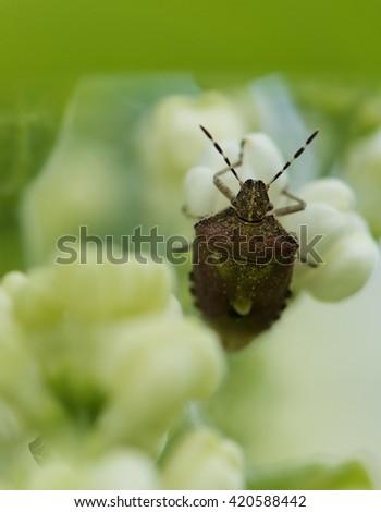 Bedbug in green blurry natural background on spring time, vivid nature, macro photography, wild nature. Bedbug sits on a blade of grass. Insecta /Hemiptera /Pyrrhocoridae /Pyrrhocoris apterus  - stock photo