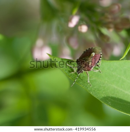 Bedbug in grenn blurry natural background on spring time, vivid nature  - stock photo