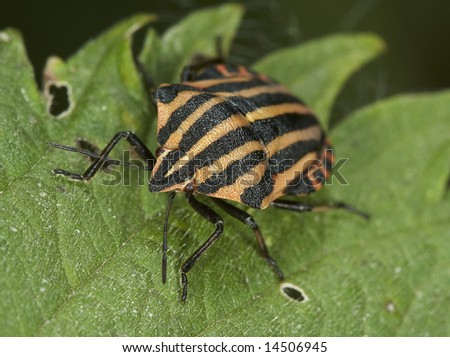 Bedbug on a leaf. Insecta / Hemiptera / Pentatomidae /Graphosoma italicum - stock photo