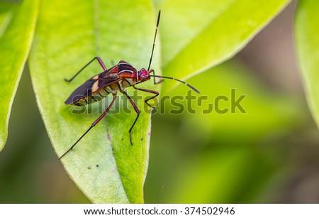 Bedbug on leaf. - stock photo