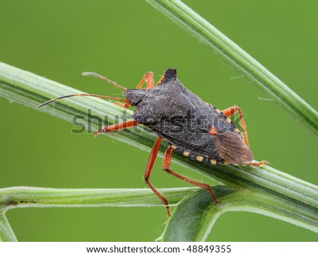 Bedbug sits on a grass.  Insecta/ Hemiptera/ Pentatomidae/ Pentatoma rufipes - stock photo