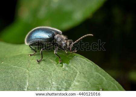 Bedbug sits on a leaf. Insecta /Hemiptera /Pyrrhocoridae /Pyrrhocoris apterus /the firebug in natural habitat, Bug in Da Lat Vietnam - stock photo