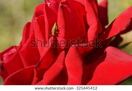 Bedbug sits on a red flower. Close-up.                                 - stock photo