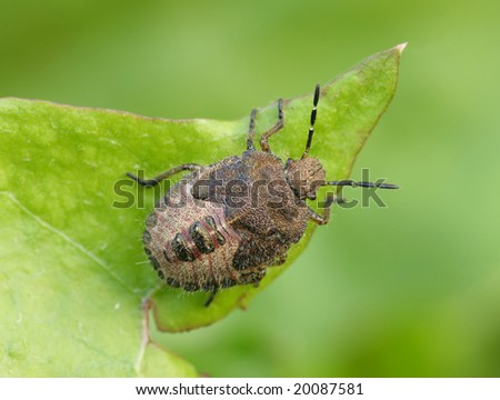 Bedbug sits on a sheet. Insecta \ Hemiptera \ Pentatomidae\... - stock photo