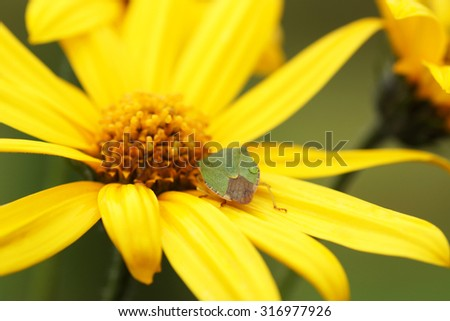 Bedbug sits on a yellow flower. Close-up.                                - stock photo