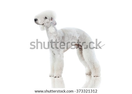 Bedlington terrier dog isolated on white - stock photo