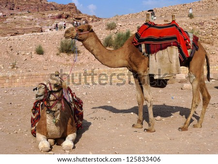 Bedouin camels in Petra, Jordan - stock photo