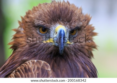 bedraggled female golden eagle - stock photo