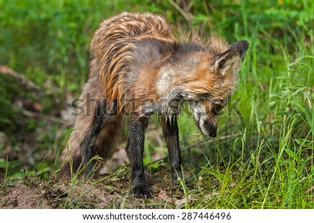 Bedraggled Looking Red Fox Vixen (Vulpes vulpes) Stands at Den - captive animal - stock photo