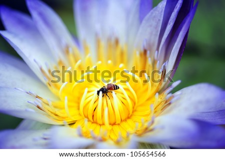 Bee absorb the pollen of Lotus - stock photo