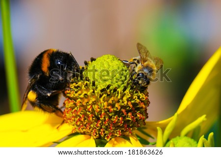bee and bumble-bee on blossom in the sunlight - stock photo